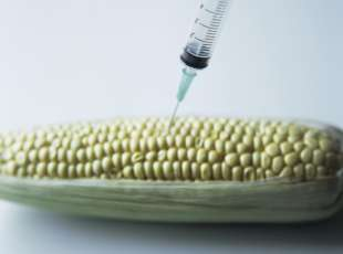 Genetically engineered maize. This is an abstract depiction of genetic engineering. The syringe represents the introduction of genes into the maize. Genetic engineering is a controversial technique whereby genes are artificially introduced into an organism to produce a desired property - such as resistance to disease or a longer shelf life. Maize was one of the first crops to have commercially viable genetically modified variants - such crops have been grown in large quantities since 1996.