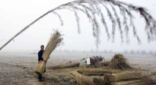 A man processes reeds for thatching on the Naardermeer natural reserve, on January 7, 2009. The thatch, used ...
