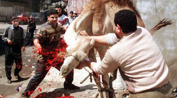 CAI03-19980407-CAIRO, EGYPT:An Egyptian butcher slaughters a camel 07 April on the first day of the Moslem ...